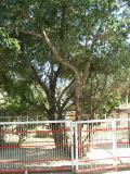 Tree under which Radharani was born in Barsana