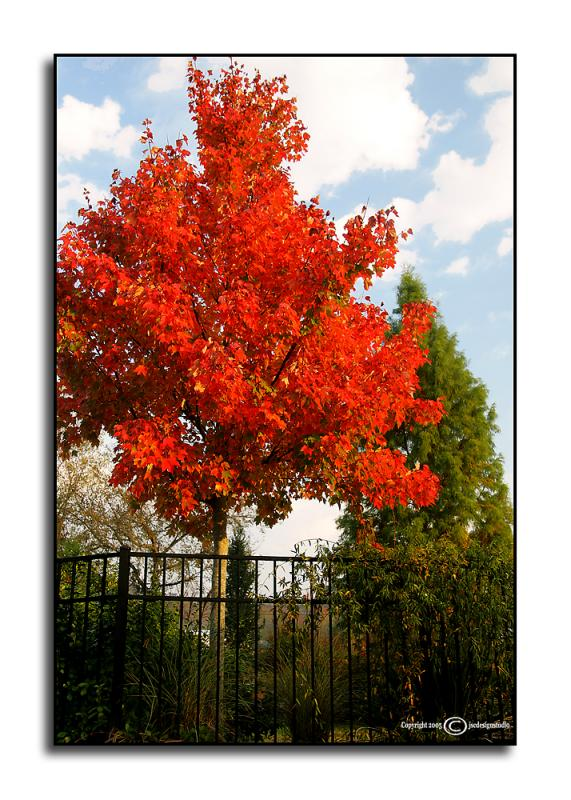 Red Sunset Maple <p> October 21