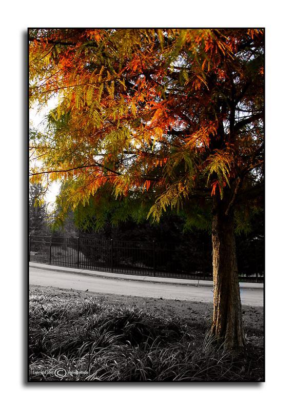 Dawn Redwood <p> October 31