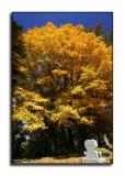 Graveyard Maple