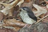 Louisiana Waterthrush Chick