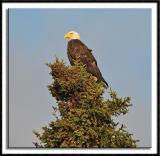 Roosting Bald Eagle