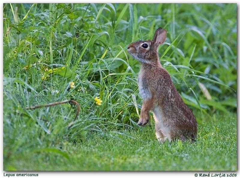 Lièvre dAmérique / Snowshoe Hare