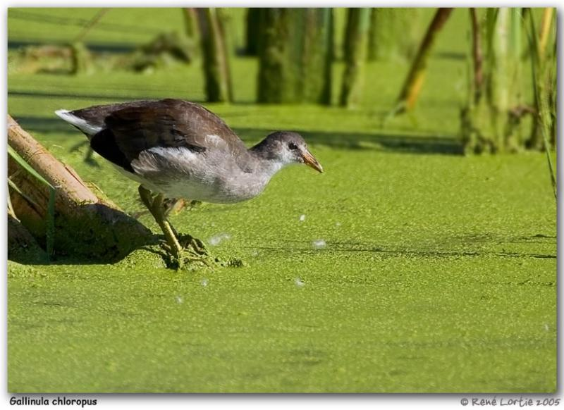 Gallinule poule-deau / Common Moorhen