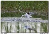 Sterne pierregarin / Common Tern