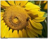 Tournesol / Sunflower