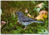 Bruant vespéral / Vesper Sparrow