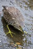 Bihoreau gris / Black-crowned Night Heron