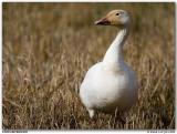 Oie des neiges / Snow Goose