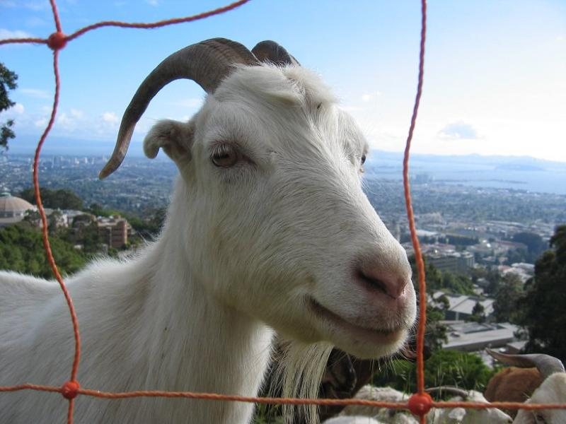 My favorite goat.  m_042103-9