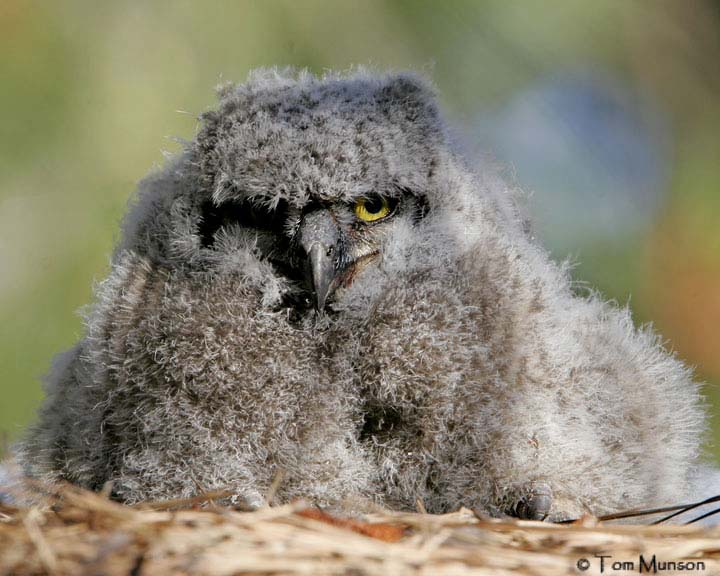 Great Horned Owl  (baby)