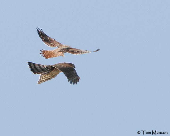 American Kestrel-Sharp-shinned Hawk