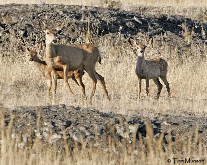 Mule Deer Doe & Fawns