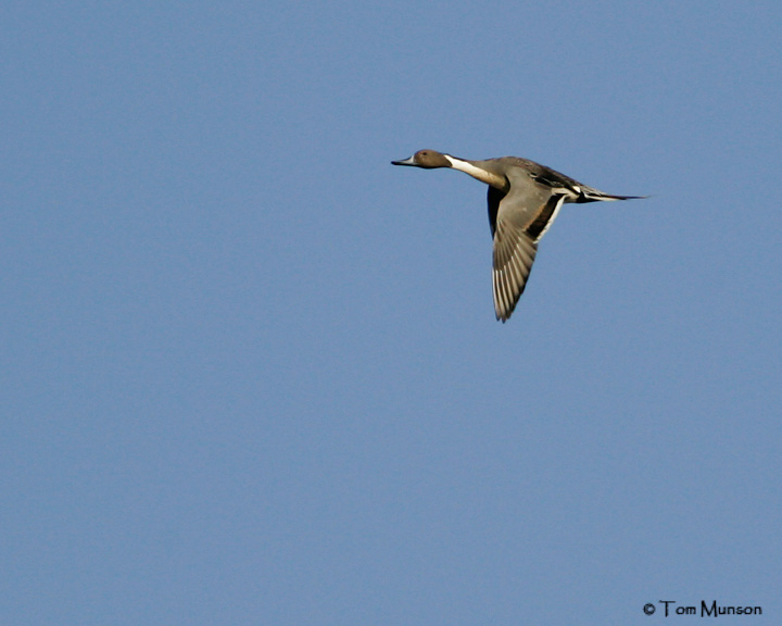 Northen Pintail