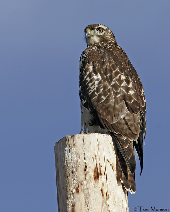 (Harlans juv.)  Red-tailed Hawk