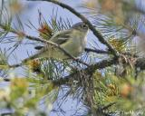 Blue-headed Vireo  ??