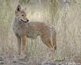 Coyote  (pup)