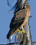 Northern Harrier (juv)