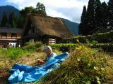 Old woman picking adzuki beans