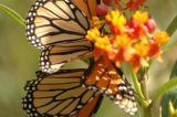 Butterfly or flower?