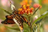Butterfly or flower 01