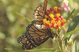 Butterfly or flower 02