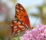 Butterfly /Gulf Fritillary