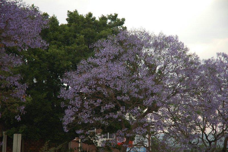 Jacarandas and leafy tree