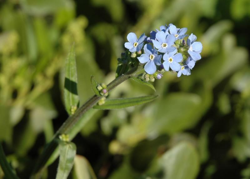 Blaue Blumen M u Wfest Inkom DSC_5101.JPG