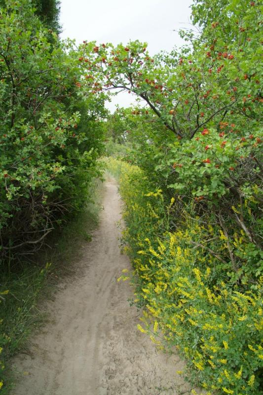 City Creek Trail with Yellow Sweet Clover and Squawberry DSCF0079.JPG