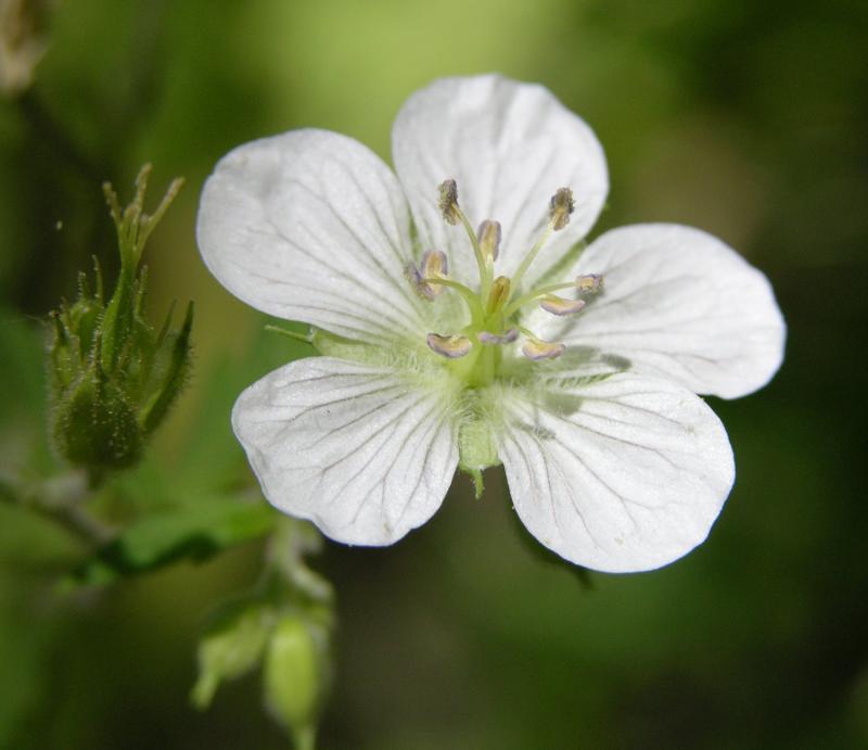 is this a white sticky geranium Crestline Trail Scout Mtn DSCN6617.JPG