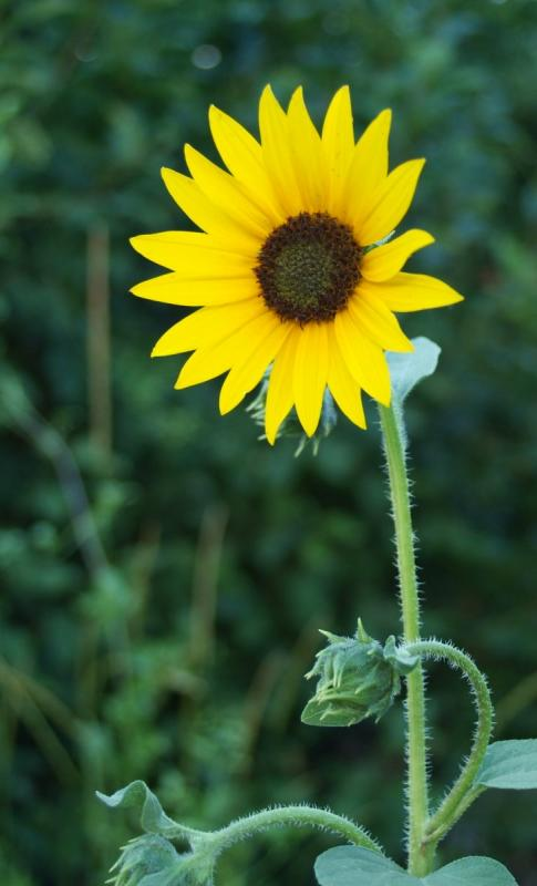 Wild sunflower smallfile DSCF0030.JPG