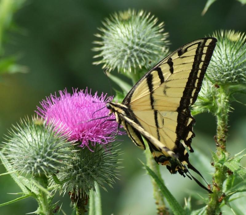 tiger swallowtail butterfly DSCF0157.JPG