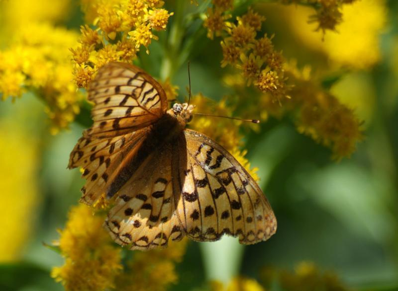 brown butterfly DSCF0029.JPG