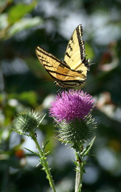 tiger swallowtail butterfly DSCF0021.jpg