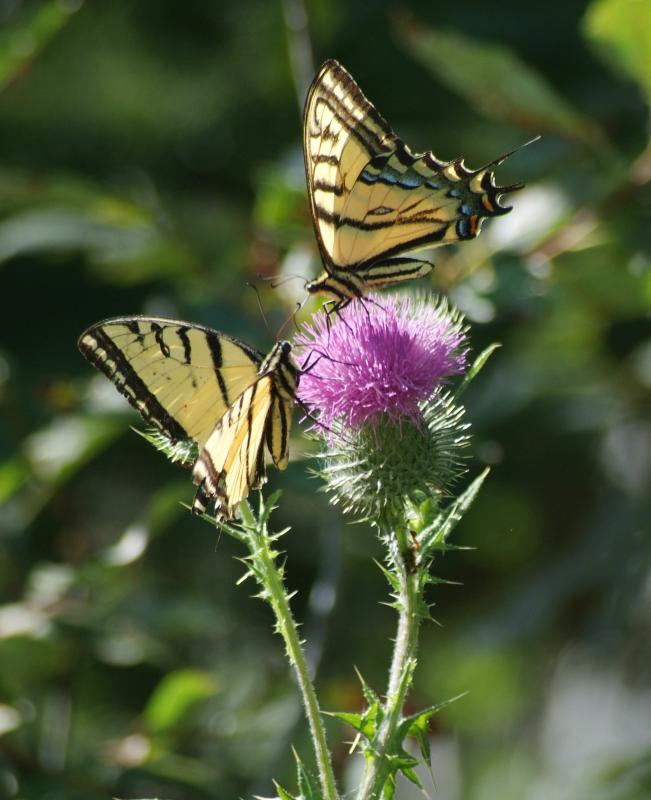 two tiger swallowtail butterflies DSCF0013.JPG