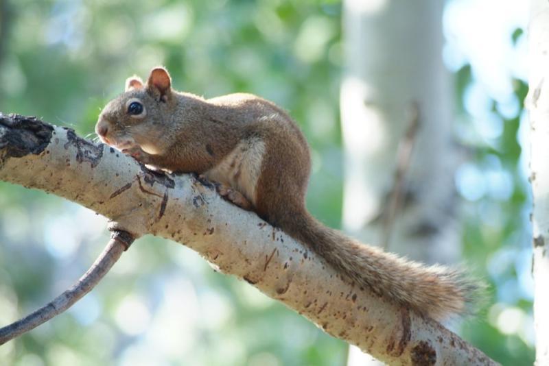 red squirrel in the mountains - Tamiasciurus hudsonicus - Rotes Skiouroschen DSCF0064.JPG
