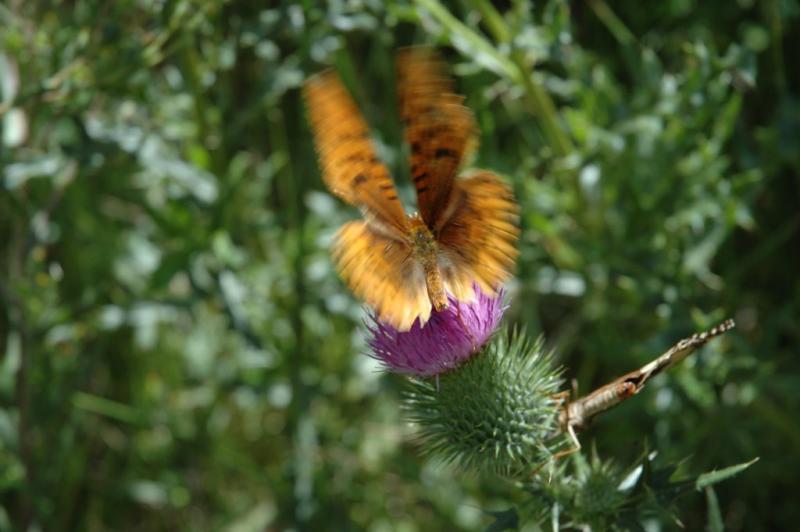 brown butterfly DSC_5975.JPG