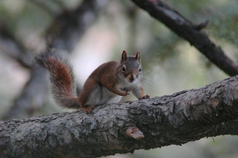 red squirrel DSC_6067.JPG