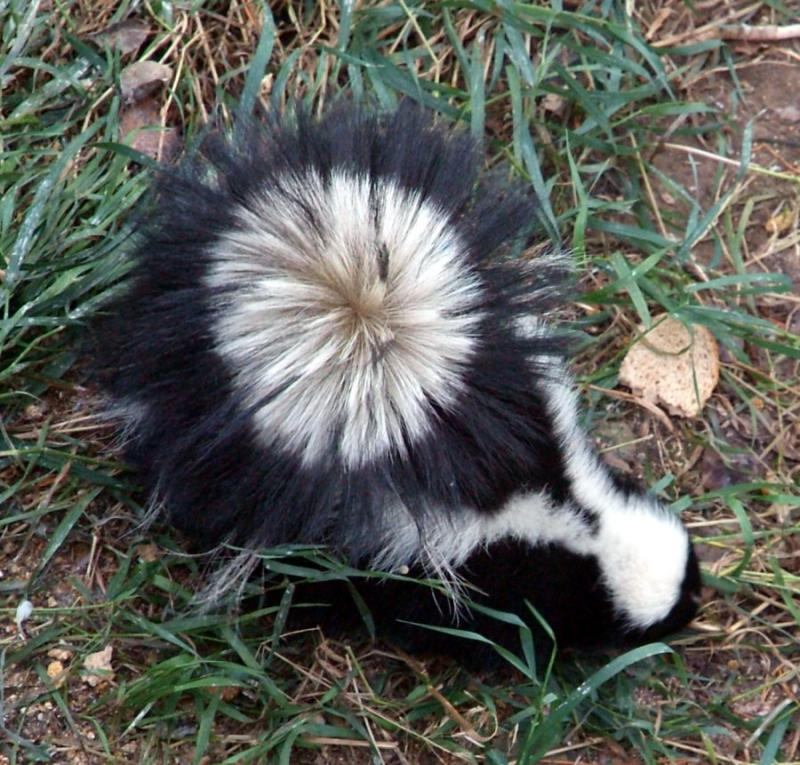 skunk with tail perhaps in defensive pose DSCF0076.JPG