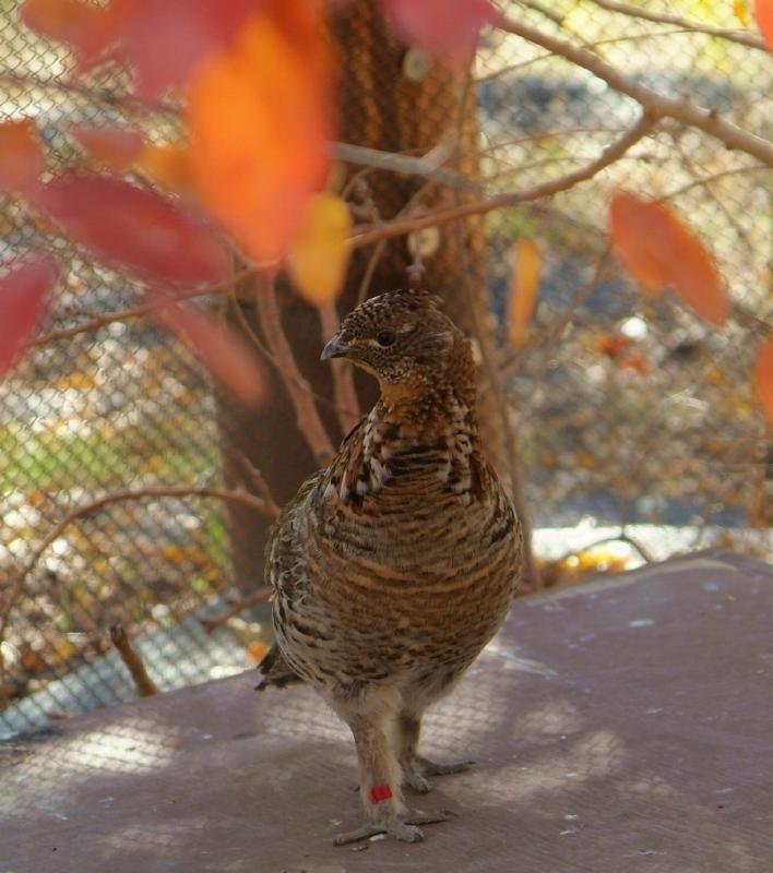ruffed grouse at zoo DSCF0690.jpg