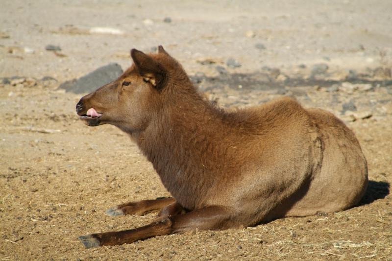 Female Elk -- Pocatello Zoo dscf0670.jpg