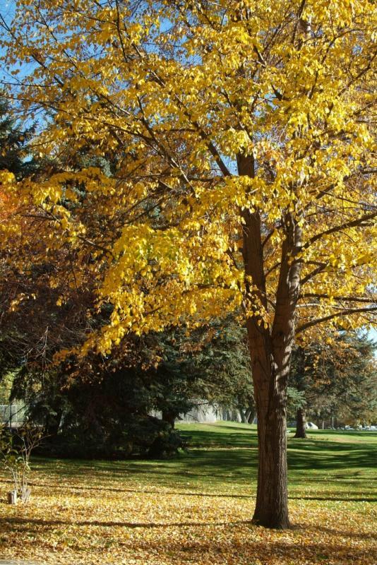 Tree in Ross Park in front of the Zoo DSCF0726.jpg