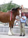 Clydesdale horse, a traveling 4-legged ambassador from St. Louis or thereabouts P6220066.JPG