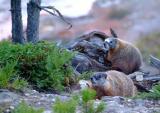 Marmots at Yellowstone DSCF0029.jpg
