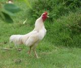 crowing rooster Mae Hong Son Province DSCF0341.JPG