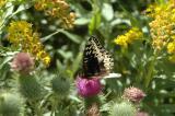 brown butterfly DSC_5995.JPG