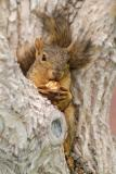 ISU squirrel near R5 parking lot DSCF0016.JPG