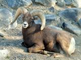 Bighorn Sheep at Pocatello Zoo DSCF0625.jpg