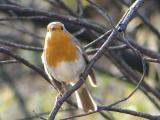 Pisco-de-peito-ruivo // European Robin (Erithacus rubecula)